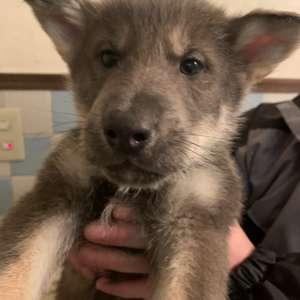 狼犬とシェパードの掛け合わせの子犬です!